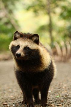 タヌキ / Raccoon dog / 明治神宮