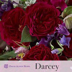 David Austin roses DARCEY...