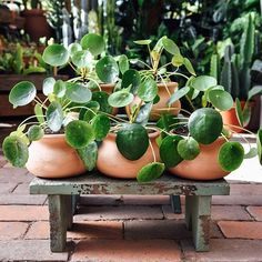 Been waiting to get your own Pilea peperomioides? Today might be the day to add this cutie to your collection, because we're offering 20% off to our mailing list subscribers! Join at the link in profile to get in on the fun. Local? This offer is good in store, too! Tag your Pilea loving friends.