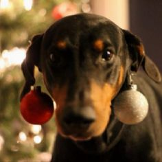Doberman decorating for Christmas Merry Christmas Card Puppy Holiday Dogs Santa Claus Dog Puppies Xmas Dobies Pinschers Dobermans
