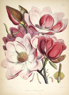 Scientific illustration of magnolia