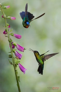 Hummingbirds are very territorial. Her's one dive-bombing another.
