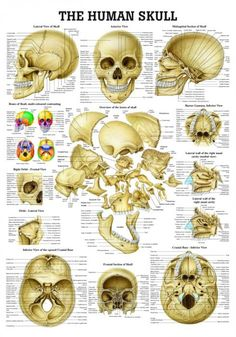 Drawing Anatomy Reference The Human Skull Laminated Anatomy Chart - Anatomy Study, Anatomy Drawing, Anatomy Art, Anatomy Reference, Nerve Anatomy, Hand Reference, Gesture Drawing, Pose Reference, Drawing Reference