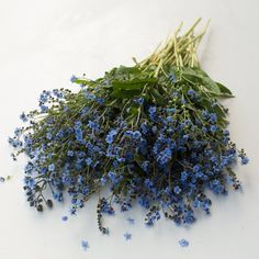 Chinese Forget-Me-Not Blue Showers