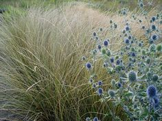 Festuca mairei with Sea Holly at Lovegrass Farm