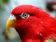 Distribuido en las islas adyacentes de Nueva Guinea. Laurie se conoce subespecies tricolor. Externamente, el macho de la hembra no es diferente. Gracias a la belleza de su plumaje tricolor loris son considerados como uno de los pájaros más atractivos. Además, las aves alojarán individualmente, con la alimentación y el cuidado de realmente llegar a ...