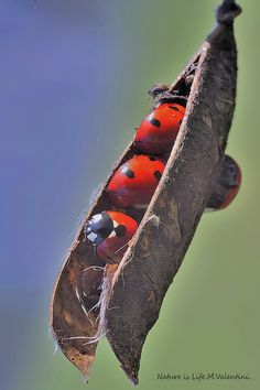 Ladybugs in a dry pod of broom by Mario Valentini