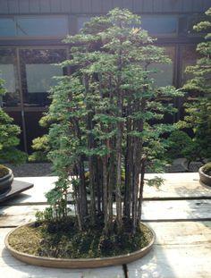 Amazing Hinoki forest by Kimura