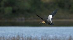 mis fotos de aves: Theristicus caudatus Bandurria boreal Buff-necked ...