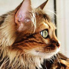 Elsa: Hello furriends we are looking forward to seeing your #weekendadventures ... Happy Caturday!   #adventurecat #allcatphotos300 #bengaladdicted #bengalsofinstagram #bestcats_oftheworld #bengalcat_lovers #bengalcats #bestmeows #bestmeowdels #caturdaycuties #catfeaturesdaily #cashmerebengal #catexplorer #cutecatskittens #instabengal #ig_bengals #lovemybengal #meowed #nc_cuties #travelcat #trendscat #topmeowdelfeatures #beautifulcatsofinstagram Adventure Cat, Looking Forward To Seeing You, Bengal, Elsa, Kitty, Cats, Happy, Animals, Instagram
