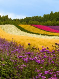 Japan - Flower Field I wish I can be there. Beautiful Flowers Garden, Flowers Nature, Wild Flowers, Amazing Gardens, Beautiful Gardens, Champs, Japan Flower, Field Wallpaper, Hd Wallpaper