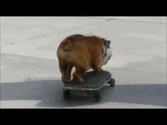 UNBELIEVABLE - Skateboarding Bulldog - You Have to See This to Believe it!! Funny Dog Videos, Funny Dogs, Skateboarding, The Incredibles, Skateboard, Skateboards, Surfboard