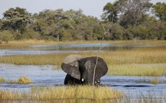 Swimming elephant | Okavango Delta - RAW Botswana