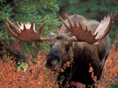 Your moose hunting success will depend on making the right choices before your moose hunt. We can help you find moose hunting success. North To Alaska, Visit Alaska, Moose Hunting, Bull Moose, Hunting Bows, Trophy Hunting, Moose Pictures, Epic Pictures, Alaska Northern Lights