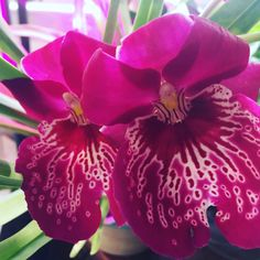 My miltoniopsis is in bloom last pic is without filter #orchid #orchids