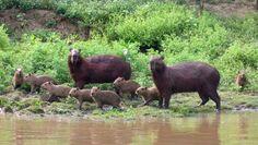 family of capybaras