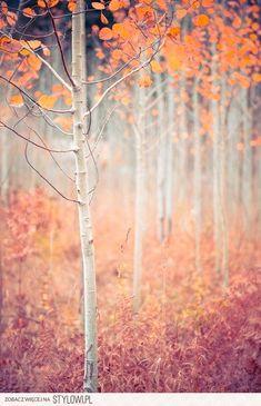 Autumn aspens (Poland) by Zosia Samosia