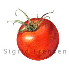 botanical art tomato pencil - Google 検索