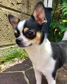 Beautiful coloring on this Chihuahua dog