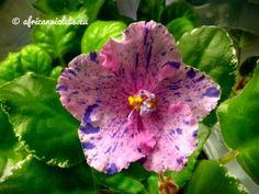 Image result for african violet kolokolnyj zvon