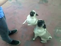 They know when they need to keep each other in check. | 41 Reasons Why Pugs Are The Most Majestic Creatures On Earth