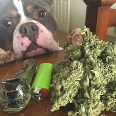 """""""My favs Pits and herb 💨💨✌️"""" Cannabis Edibles, Weed Pictures, Weed Art, Cbd Oil For Sale, Drug Test, Buy Weed Online, Ganja, Thoughts"""