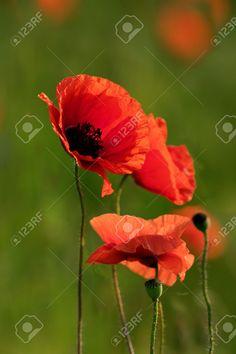Маки на фоне травы утра Фотография, картинки, изображения и сток-фотография без роялти. Image 47538119.
