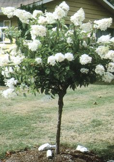 1000 images about garden on pinterest for Best ornamental trees for zone 7