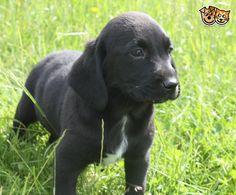 Springador pups | Abergavenny, Monmouthshire | Pets4Homes