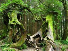Vieux arbres à l'allure énigmatique. Forêt de Brocéliande, Bretagne.                                                                                                                                                     Plus