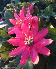 Santa Cruz CA: #passiflora #passionflower #spring #athens  #crete #gdansk #malaga  #tunis #kiev #vilnius #norwich #praha  #jerusalem #tehran #tokyo #marseilles  #lima #bestofsantacruz #panama #buenosaires #islamargarita  #toronto #santacruztoday #santacruzlife #santacruz  #capitola #sanjose  #santacruznow #visitsantacruz by slawekwojtowicz