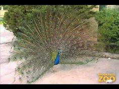Peafowl at Brookfield Zoo 2:15 Zoo 2, Brookfield Zoo, Peafowl, Music, Animals, Musica, Peacock, Musik, Animales