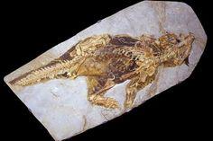 Psittacosaurus dinosaur fossil.