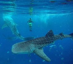 Swimming with Whale Sharks - Oslob, Cebu, Philippines Palawan, Bohol, Voyage Philippines, Philippines Travel, Philippines Cebu, Places To Travel, Places To Go, Vacation Places, Italy Vacation