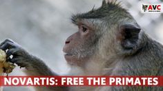Novartis: Release the Horsham Primates | International pharmaceutical company Novartis have earmarked their laboratory in Horsham, West Sussex, for immediate closure. Please SIGN and share petition asking that all primates and smaller species of lab animals they have be released to the Anti-Vivisection Coalition (AVC) for retirement just as Merck, Sharpe Dohme (MSD) did when they closed a similar facility, Thanks.