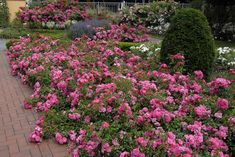 carpet roses | Flower Carpet roses are low growing and don't need spraying.