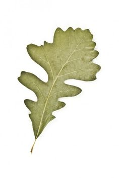 Common Oak Trees: Oak Tree Identification Guide For Gardeners Red Oak Tree, White Oak Tree, Oak Leaves, Tree Leaves, Plant Leaves, Oak Leaf Identification, Oak Leaf Tattoos, Street Trees, Leaf Photography