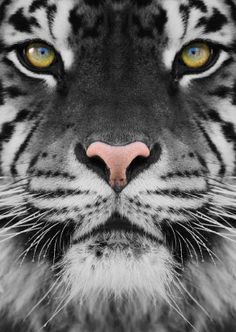 Eye of the tiger ★