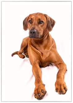 ☀Rhodesian Ridgeback Dog Photography Puppy Hounds Chiens Puppies