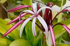 Garden flowers, San Pedro, Ambergris Caye, Belize 12/10
