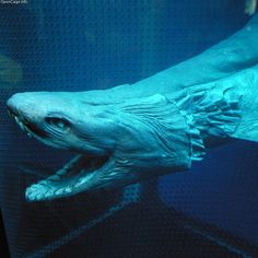 Frilled Angel Shark-gestation is approximatly 3 1/2 yrs. They live in the deep depths of the ocean and Sunami's is usually the only time they're seen. They are an eel-like animal but are of the shark family.