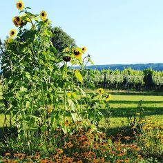 #buschenschank #seyfried #weingut #wein #grazumgebung #sunflowers #steiermark…