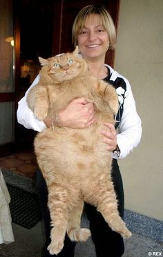 See more 5 Biggest Cats You Have Ever Seen biggest tabby I have ever seen and I have had some big cats. wondering about growth hormone use??? http://www.imuscletalk.com