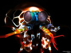 Rawka błazen (Odontodactylus scyllarus)