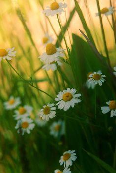 ..daisy's garden.. by neslihans