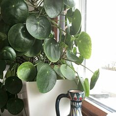 PileaPeperomioides, which is also known as #ChineseMoneyplant, #Missionaryplant or #Pancakeplant. WATER water Pileas about once a week, depending on the season. On hot summer days they might need a bit more water than on colder days. What's important is to not keep the soil wet, but let it dry out a bit in between waterings, but also don't let it dry out completely, eithe