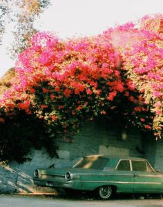 Bella Bougainvillea