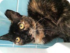 Philadelphia, PA - Domestic Shorthair. Meet Cassidy, a cat for adoption. http://www.adoptapet.com/pet/15540216-philadelphia-pennsylvania-cat