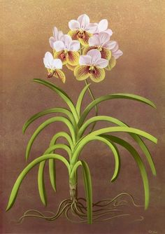 Paul Jones is an Australian painter who has painted these beautiful botanical illustrations in a manner very reminiscent of Thornton's Temple of Flora. Vintage Botanical Prints, Botanical Drawings, Botanical Illustration, Contemporary Australian Artists, Australian Painters, Botanical Flowers, Botanical Art, Vanda Orchids, Watercolor Flowers
