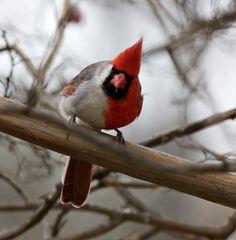 gynandromorph cardinal